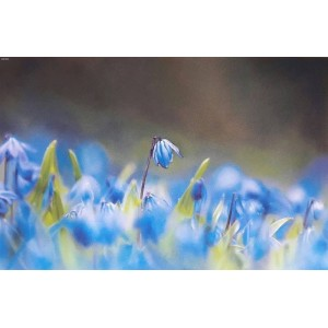 Голубые подснежники